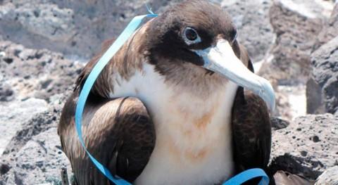 plásticos amenazan incluso aves marinas zonas más remotas