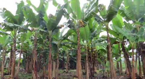 Cómo obtener bioenergía residuos plátano