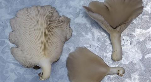 busca planta tratamiento convertir residuos vegetales hongos comestibles