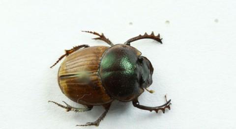 Escarabajos estercoleros: Recicladores pastizales