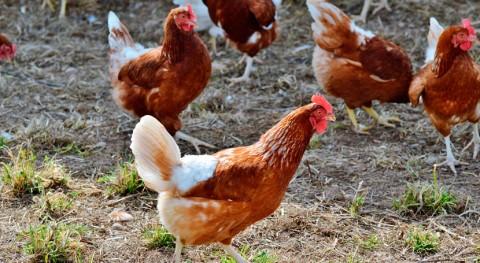 Tu basura vale huevo: Ecologistas alimenta 100 gallinas residuos orgánicos comedores