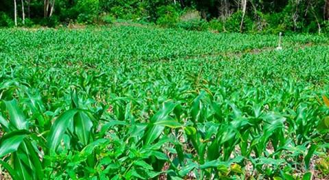 jatrofa, materia prima elaboración biocombustibles líquidos