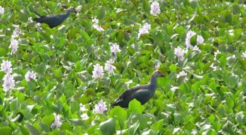 Lirio acuático: planta invasora biocombustible