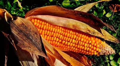 León derrollará procesos biorefinería basados aprovechamiento paja maíz