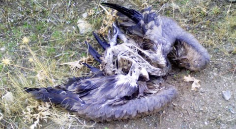 Incesante goteo aves muertas vertedero CTR Ávila-Norte