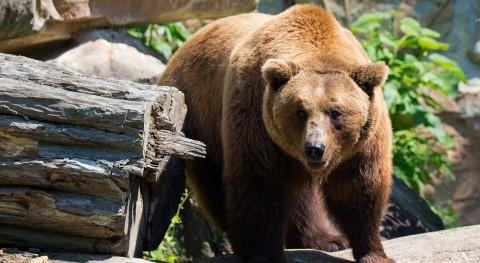 Vertederos como fuente principal alimento osos pardos