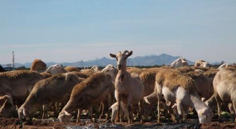 heces oveja reflejan contaminación microplásticos suelos agrícolas
