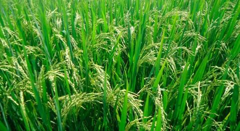 paja arroz se gestionará como modelo economía circular Comunidad Valenciana