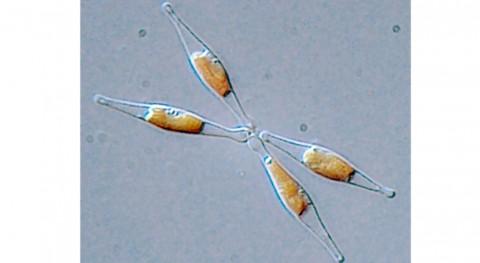 nanoplásticos alteran funciones microalga básica ecosistemas marinos