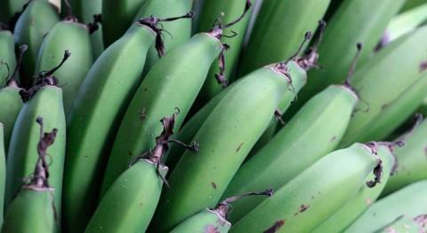 desechos plátano macho se transforman polímeros biodegradables
