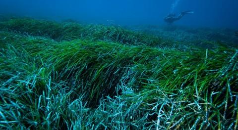 UB revela que praderas marinas posidonia pueden capturar plásticos vertidos al océano