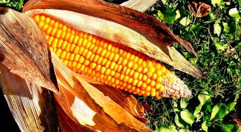 residuos maíz, materia prima fabricar nanocristales celulosa