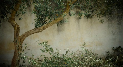 basura complemento dieta: residuos olivar mejoran flora intestinal