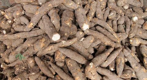 residuos orgánicos cáscaras yuca y plátano pueden generar bioetanol