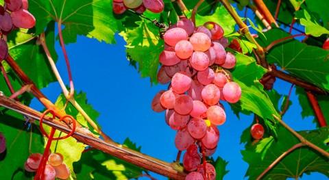 madera poda vid puede sustituir sulfitos elaboración vino tinto