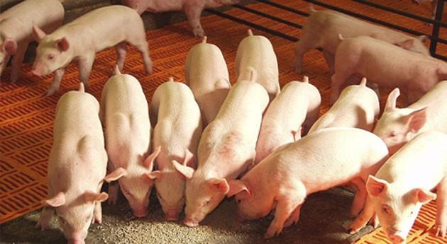 Ammonia Trapping: ¿Cómo recuperar nitrógeno purines granjas porcinas y avícolas?