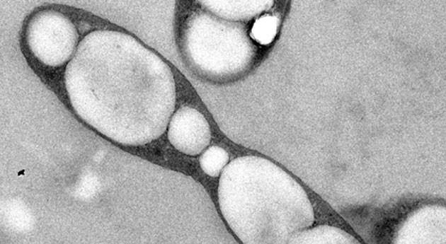 tolerancia bacteria hidrocarburos ayudará crear herramientas anticontaminación