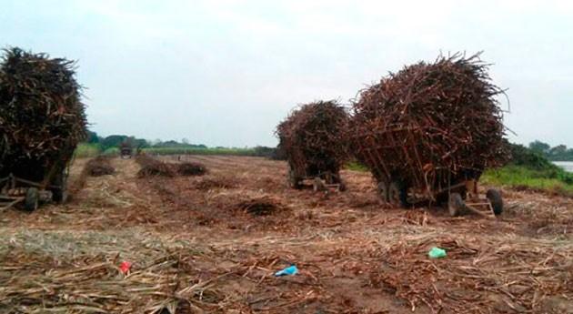 Residuos caña azúcar y bacterias, materias primas elaborar fertilizante
