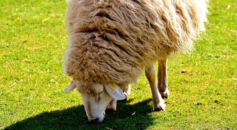 WOOL4BUILD, nuevo aislante acústico edicificios partir lana oveja
