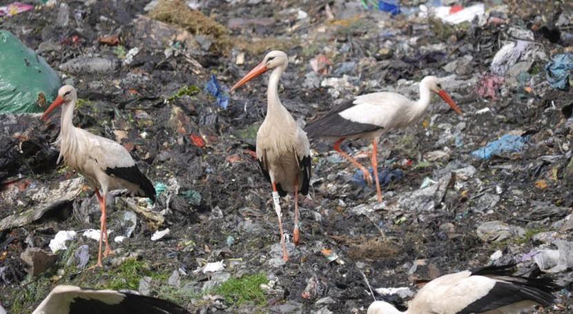 vertederos son fuente alimento muchas aves: ¿qué pasará si cerramos?