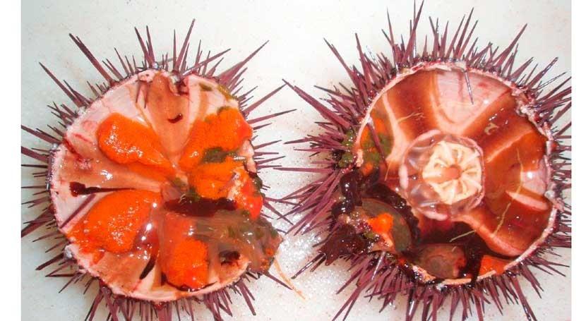 redes pesca pueden contener sustancias tóxicas erizo mar