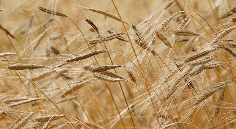 elaboración cereales capaces consumir nitrógeno aire crear biomasa
