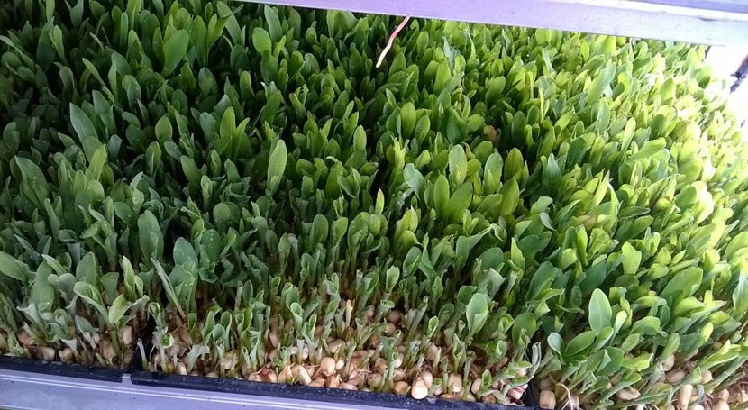 Grass Green, alimento ganado que aprovecha residuos como nutrientes cultivo