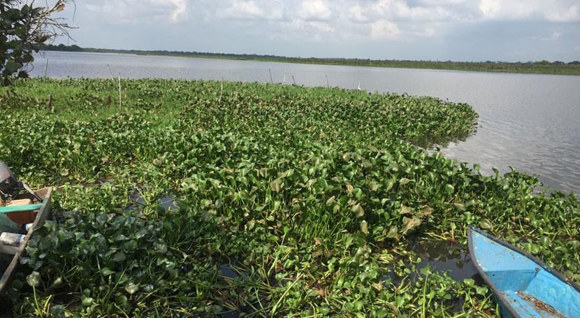 Lirio acuático: maleza biocombustible