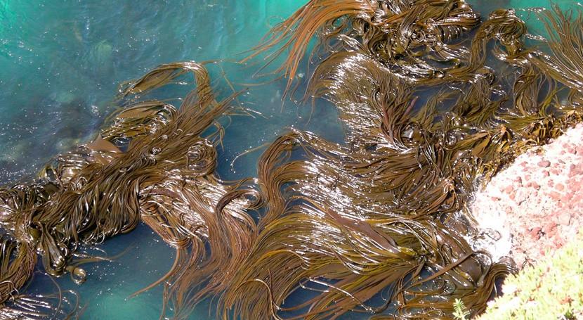 Investigadores UPM transforman residuos macroalgas material altamente energético