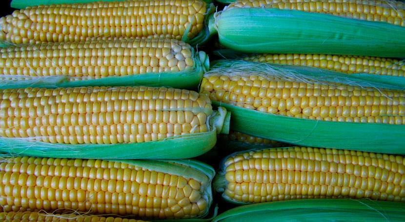biofertilizantes procedentes lodos depuradoras mejoran cultivos maíz
