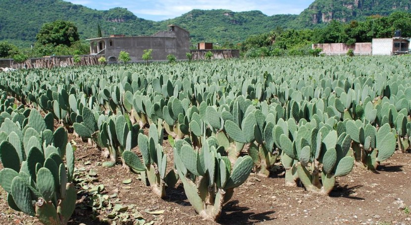 Calvillo acoge única planta México que produce energía partir nopal y excremento vaca
