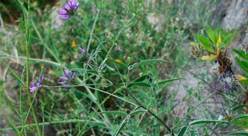 planta usada como alimento ganado, posible solución suelos canarios degradados
