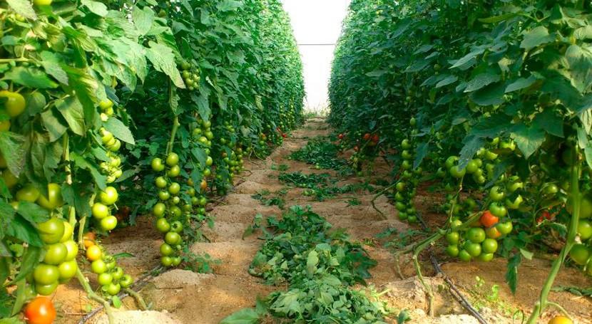 Desarrollan biofertilizante que combina desechos cultivos tomate y energía solar